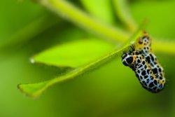 Cutworms: A bad garden bug.