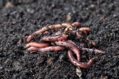 Earthworms are among the 10 most wanted good garden bugs.