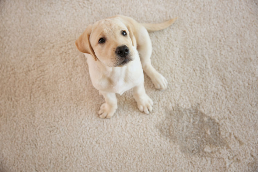 How To Remove Carpet Pet Stains