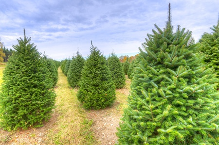 Choosing and planting requirements for a living Christmas tree.