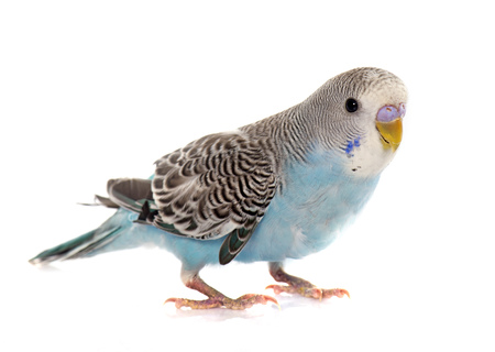 Small birds such as parakeets are easy pets for kids age 8 and older.